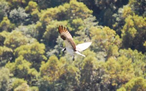 Osprey Above Nugget